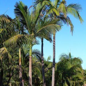 King Palm Maxima